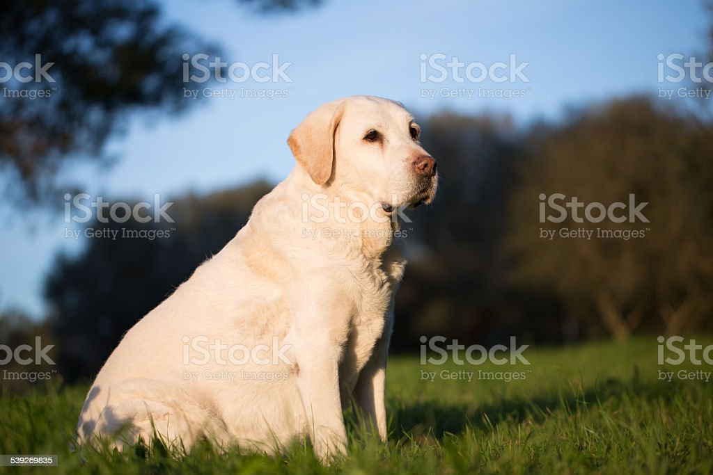 beautiful senior labrador dog in the afternoon sunlight stock photo