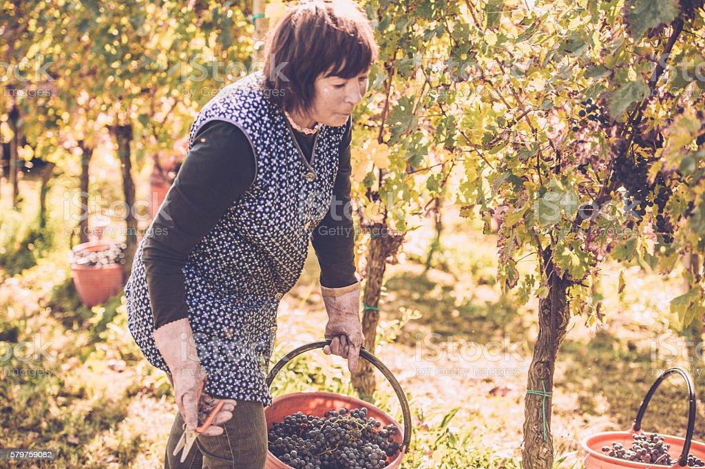 Beautiful Senior Woman Picking Black Grapes stock photo