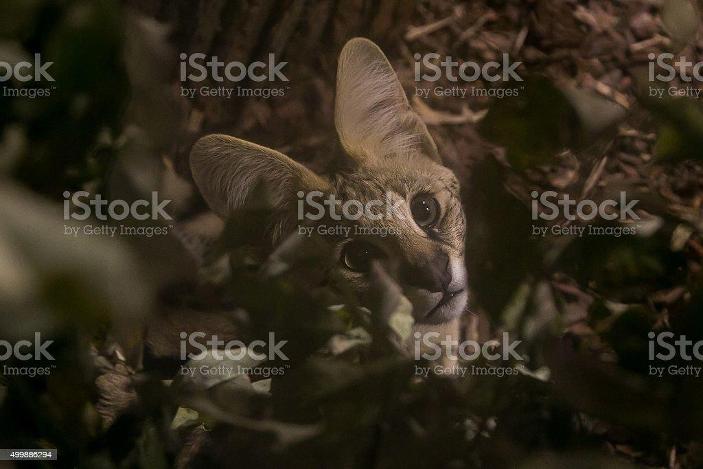 Beautiful serval kitten stock photo