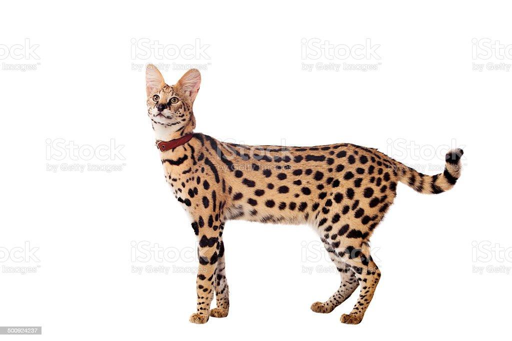 Beautiful serval, Leptailurus serval stock photo