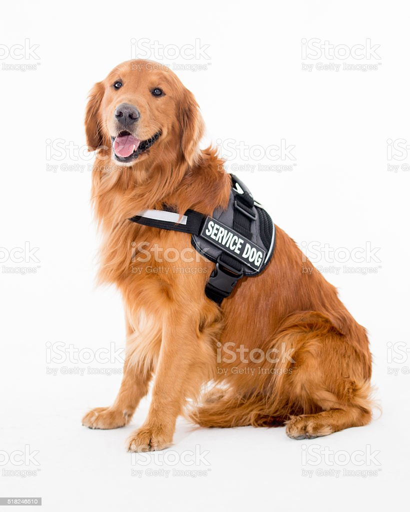 Beautiful service dog stock photo