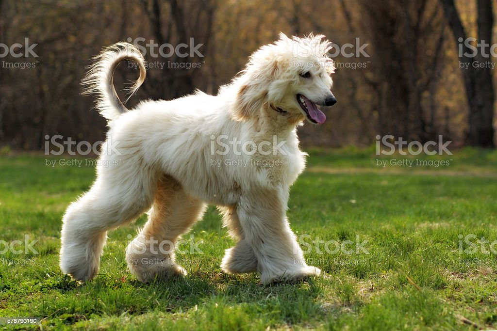 beautiful shaggy dog breed Afghan in the summer stock photo