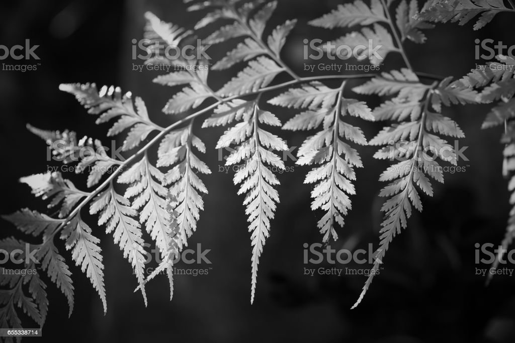 beautiful shape of leaves in black and white tone stock photo