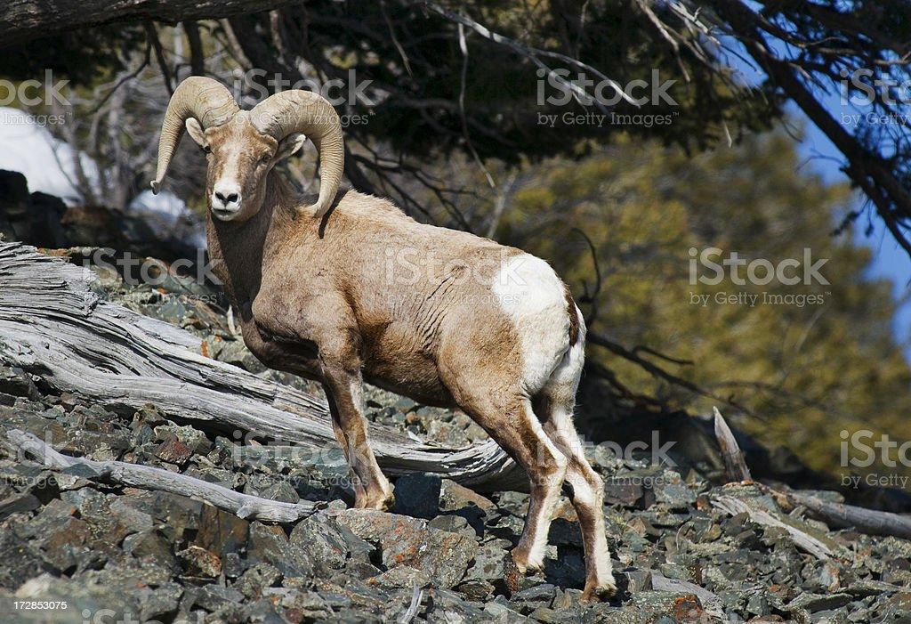 Beautiful sheep stock photo