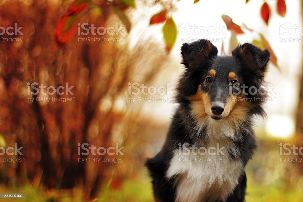 beautiful sheltie dog stock photo