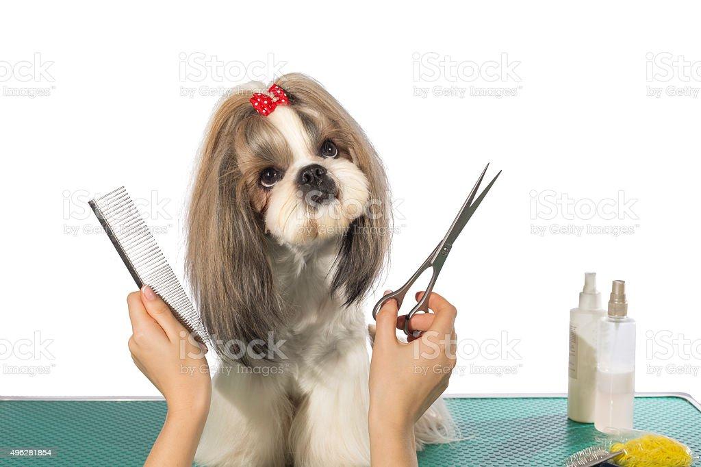 Beautiful shih-tzu at the groomer's hands stock photo