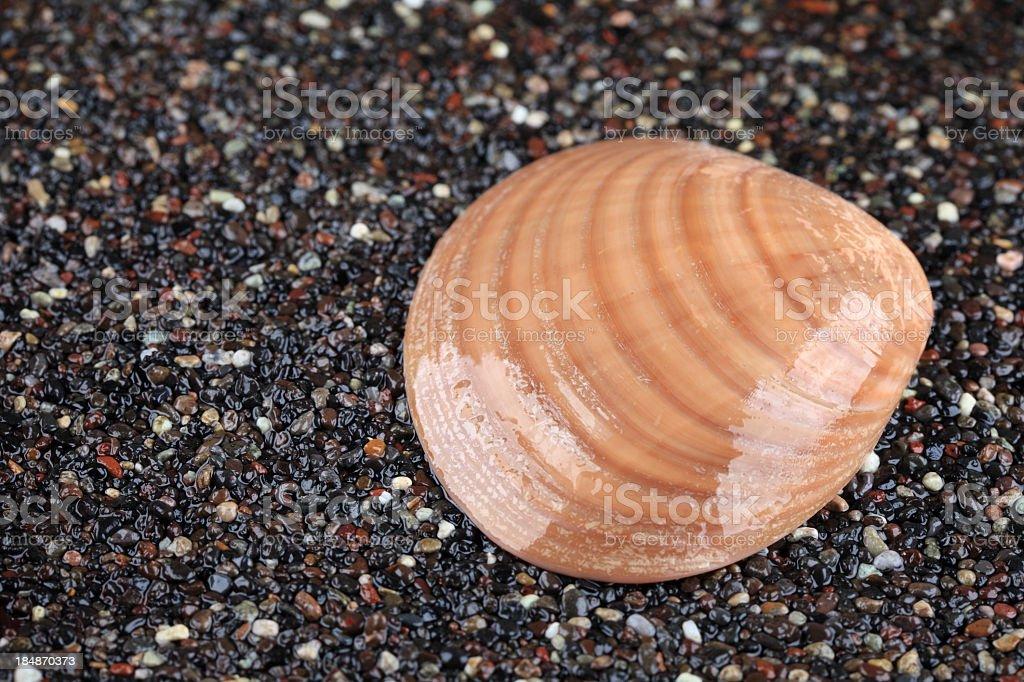 Beautiful shiny shell royalty-free stock photo
