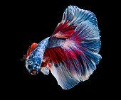 beautiful siam fighting fish are swimming