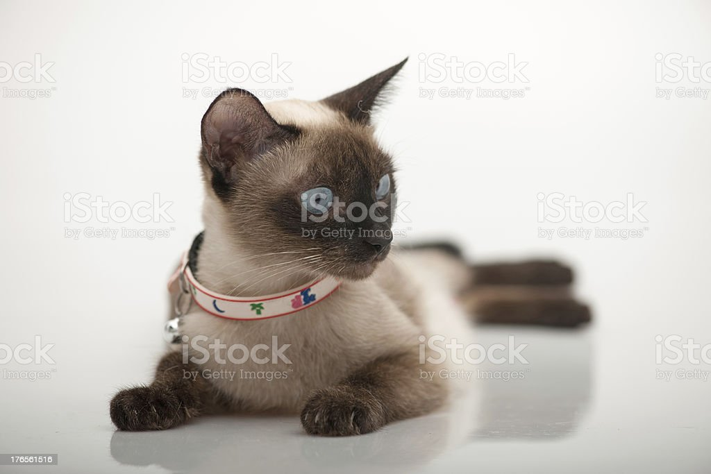 beautiful siames cat royalty-free stock photo