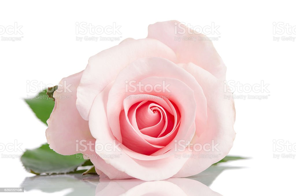 beautiful single pink rose lying down on a white background stock photo