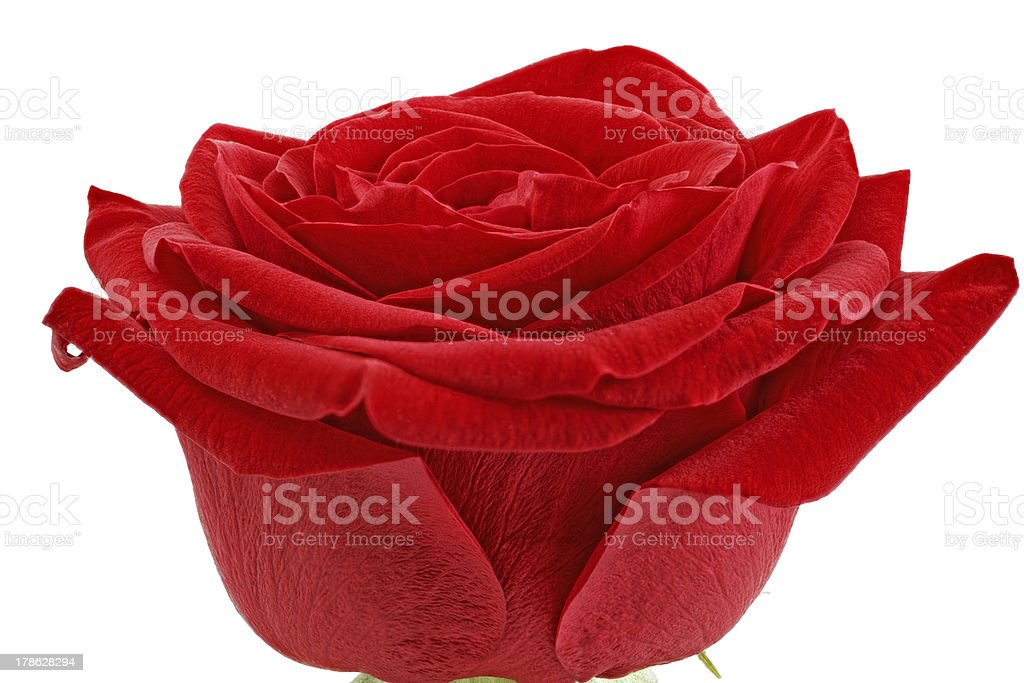 Beautiful single red  rose flower. Isolated. royalty-free stock photo