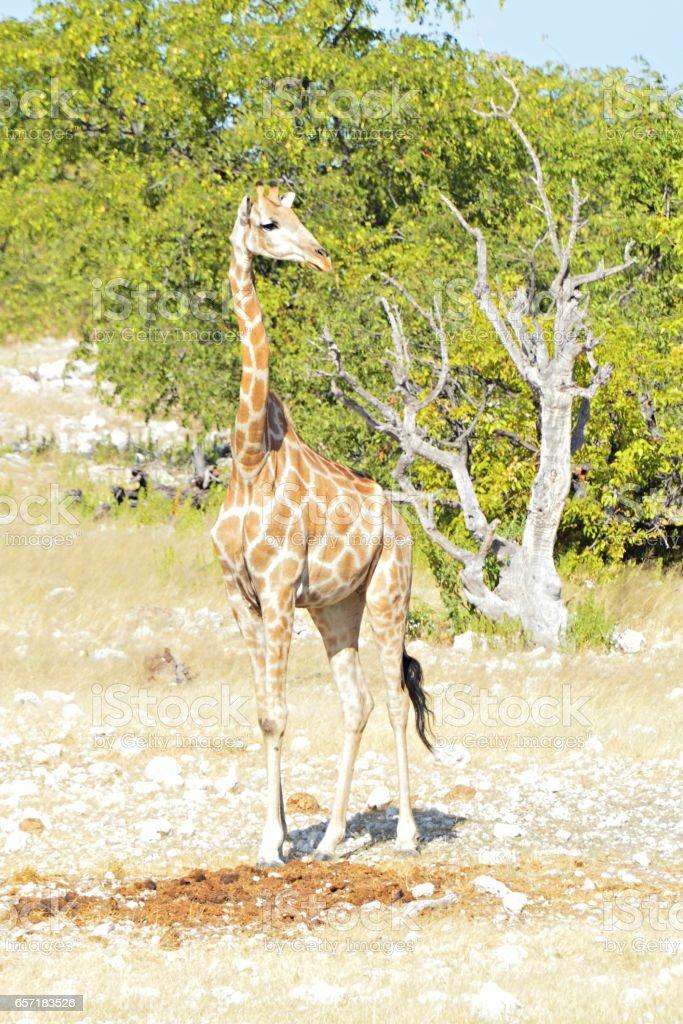Beautiful small Giraffe in the Etosha National Park in Namibia stock photo