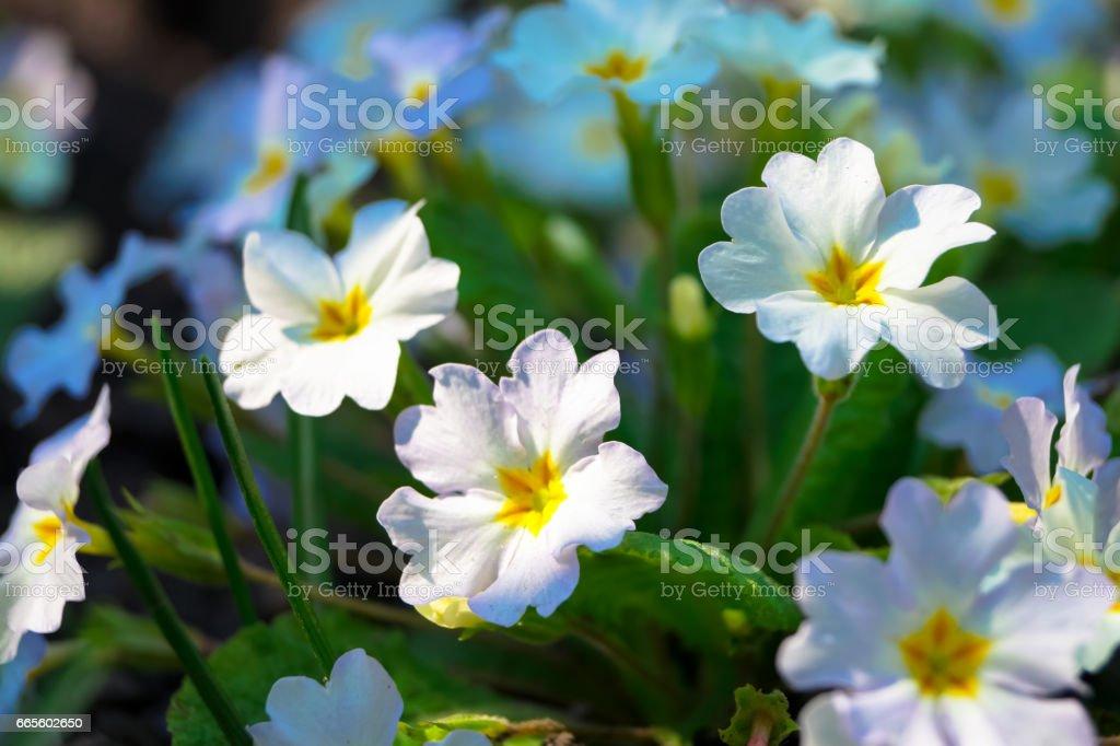 beautiful small spring flowers primrose stock photo