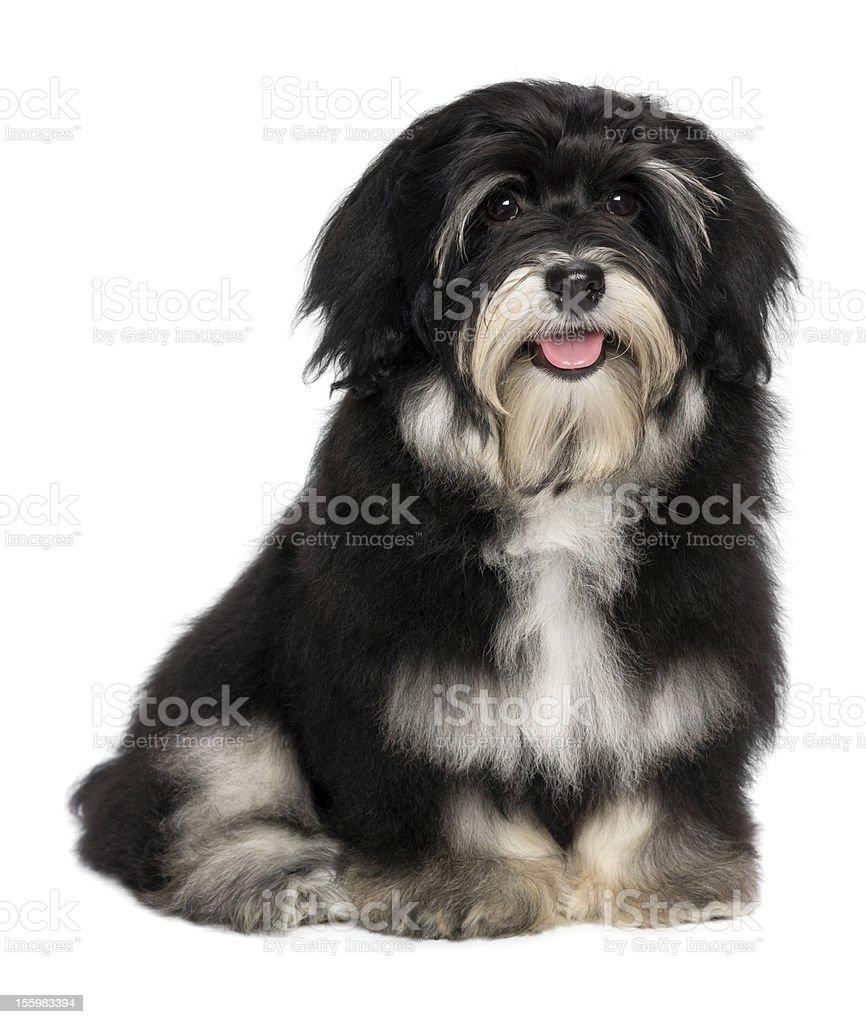 Beautiful smiling happy havanese puppy dog royalty-free stock photo