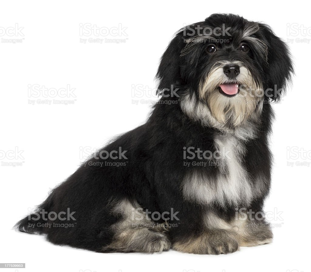 Beautiful smiling havanese puppy is looking at camera royalty-free stock photo