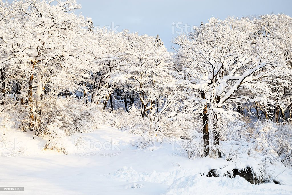 Beautiful snow covered trees in Japan stock photo