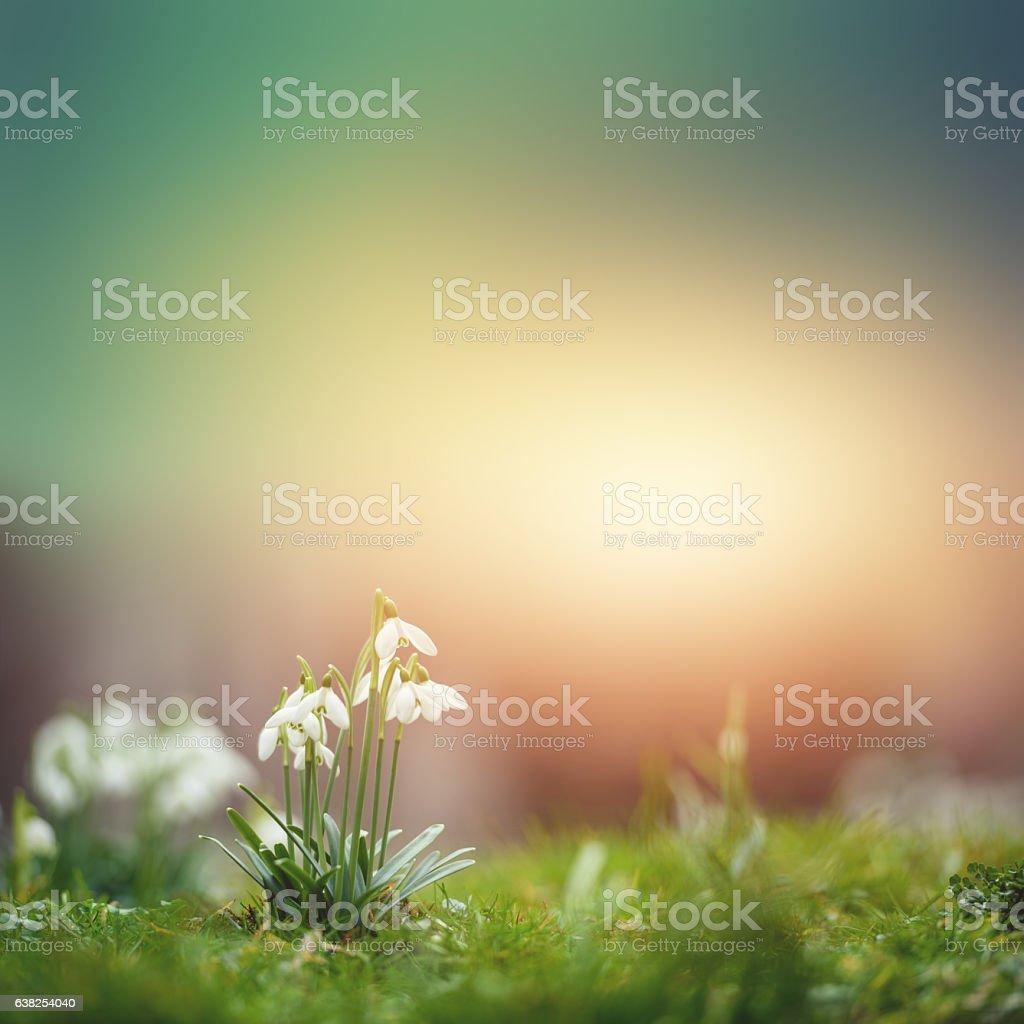 Beautiful Snowdrop stock photo
