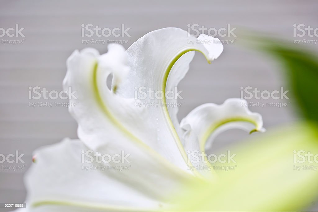 Beautiful snow-white oriental lily, petals extreme close-up stock photo