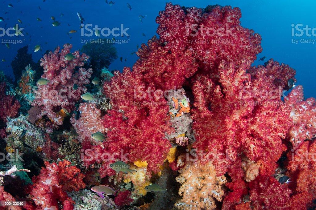 Beautiful Soft Corals in Fiji stock photo