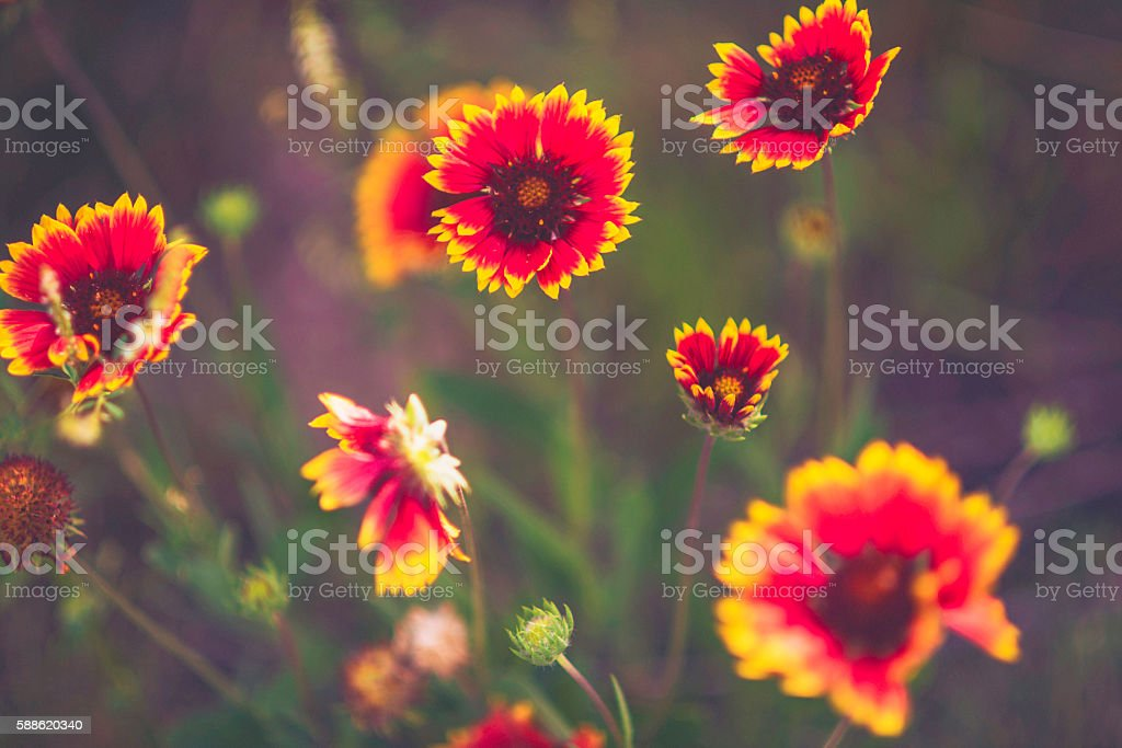 Beautiful soft gaillardia blanket flowers growing wild in Colorado, USA stock photo