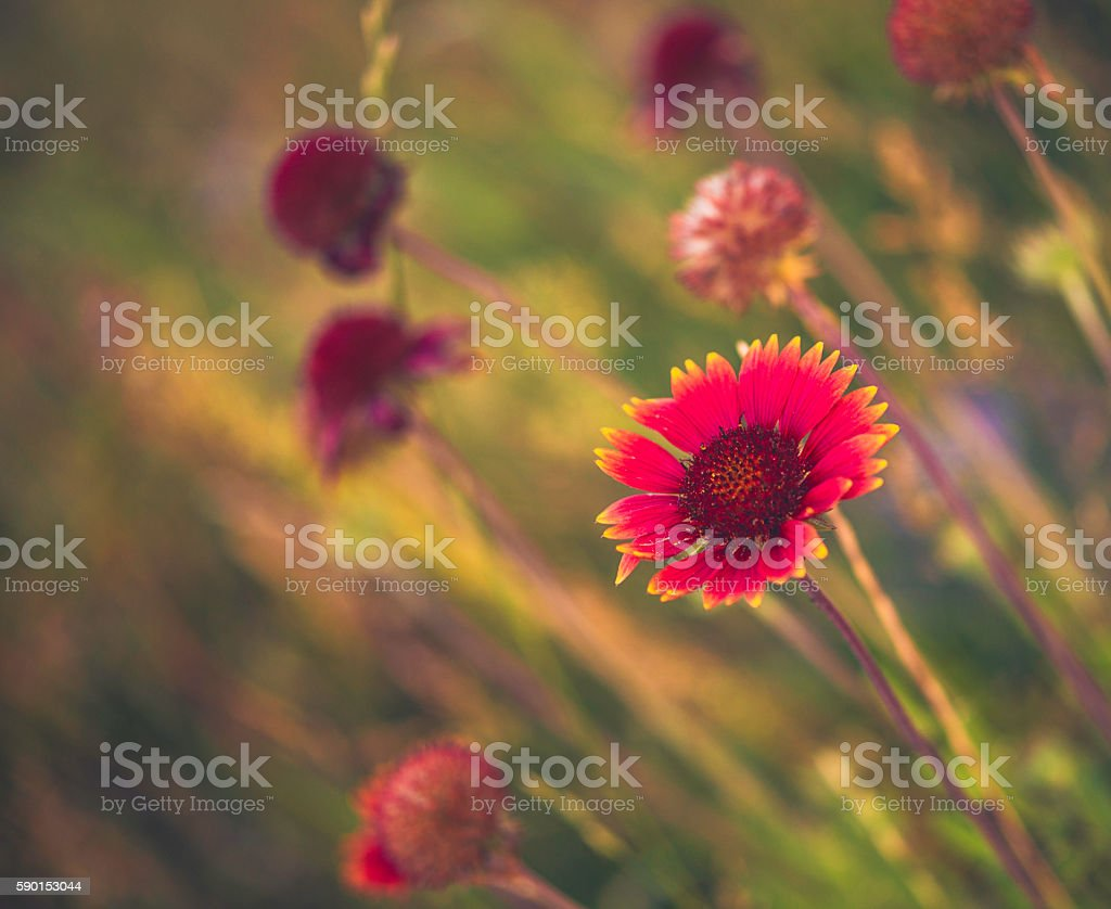 Beautiful soft gaillardia blanket flowers growing wild in Colorado, USA stock photo