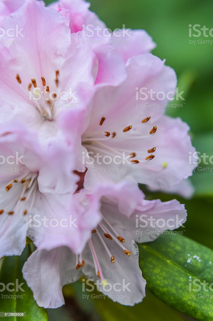 Beautiful Soft Pink Rhododendron stock photo