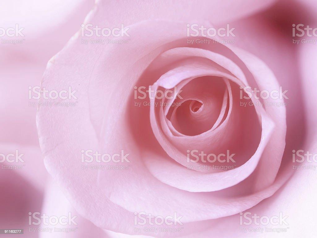 Beautiful soft pink rose royalty-free stock photo