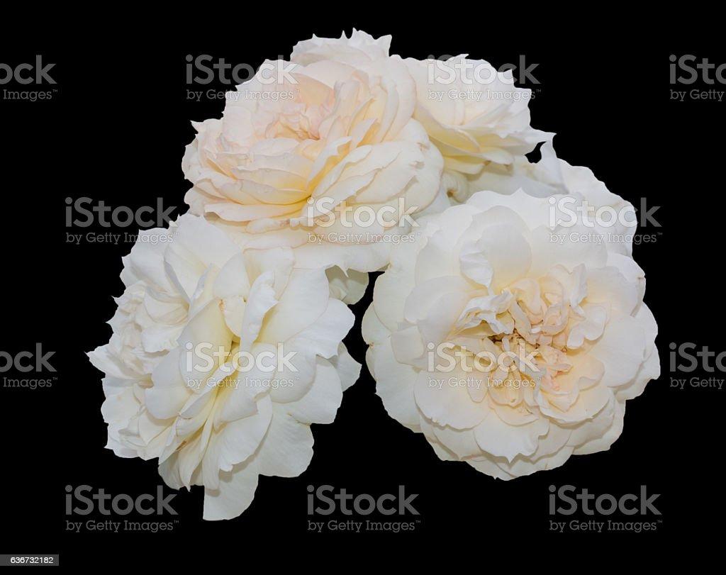 Beautiful soft yellow rose isolated on black background. stock photo
