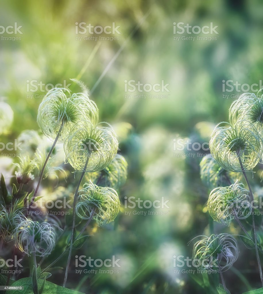 Beautiful softness flower - fluffy flower stock photo