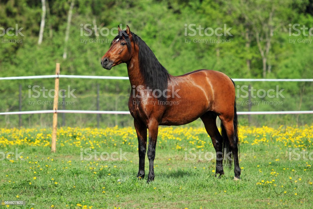 Beautiful sorrel horse in corral stock photo