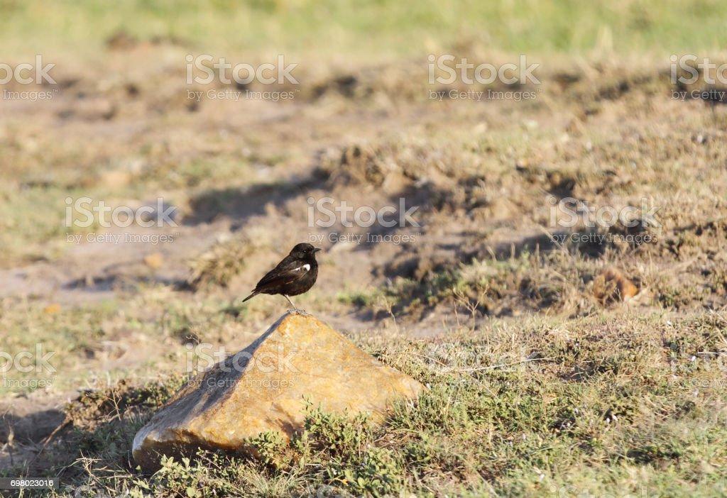 A beautiful Southern Black-Flycatcher stock photo