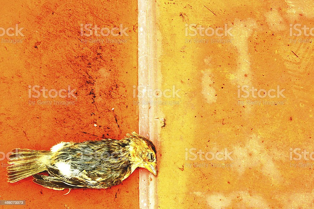 beautiful sparrow dead  bird on the floor royalty-free stock photo