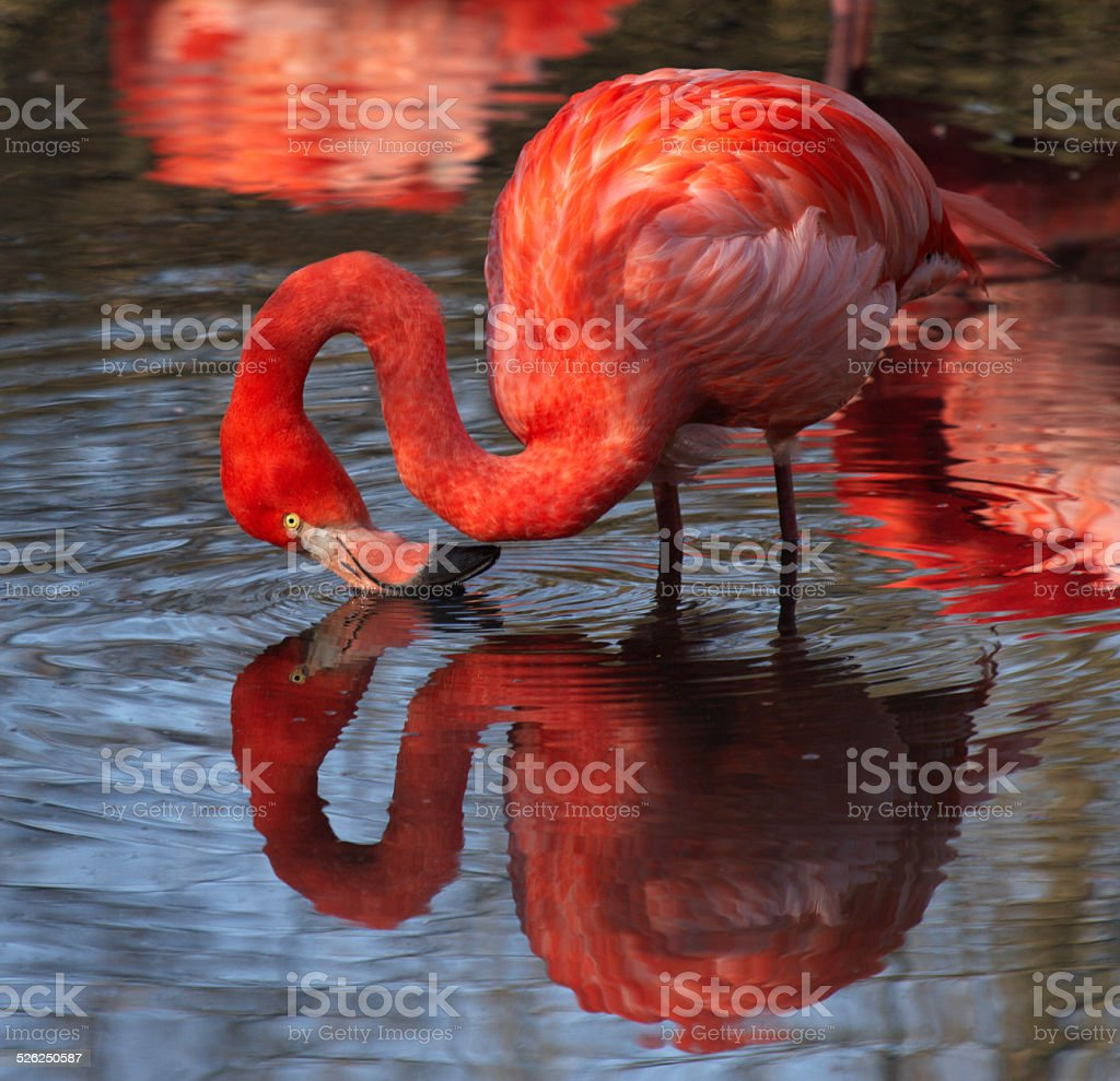 Beautiful specimen of pink flamingo stock photo