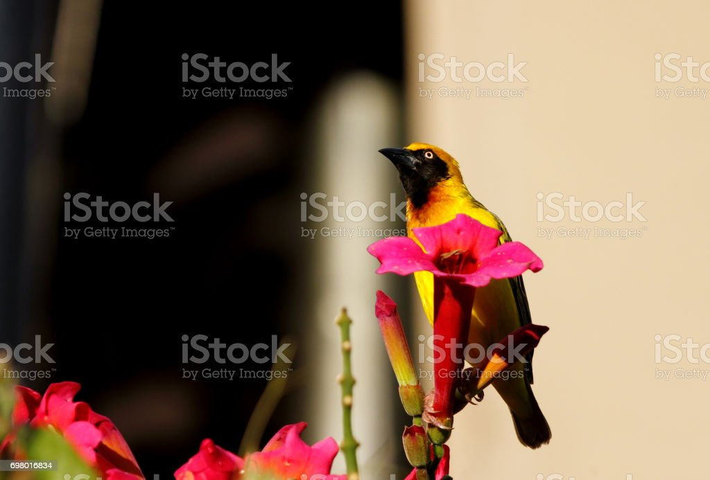 A beautiful Speke's Weaver on a red flower stock photo