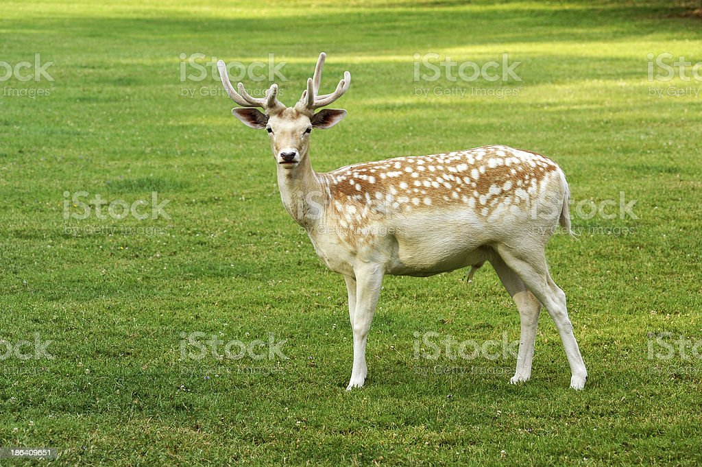 Beautiful spotted fallow deer buck royalty-free stock photo