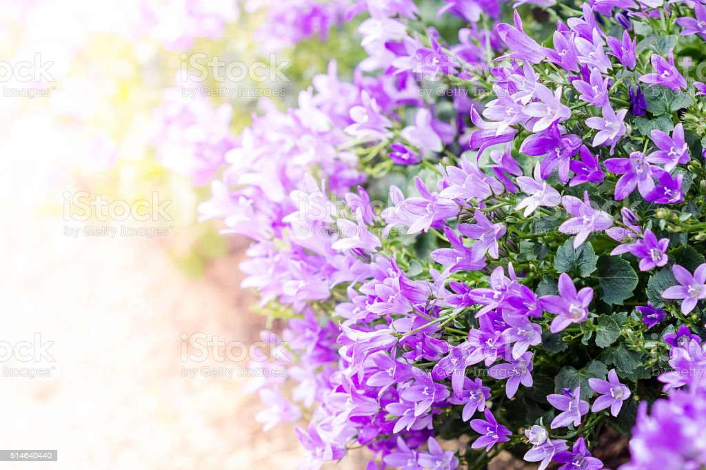 Beautiful spring background with campanula bouquet. stock photo
