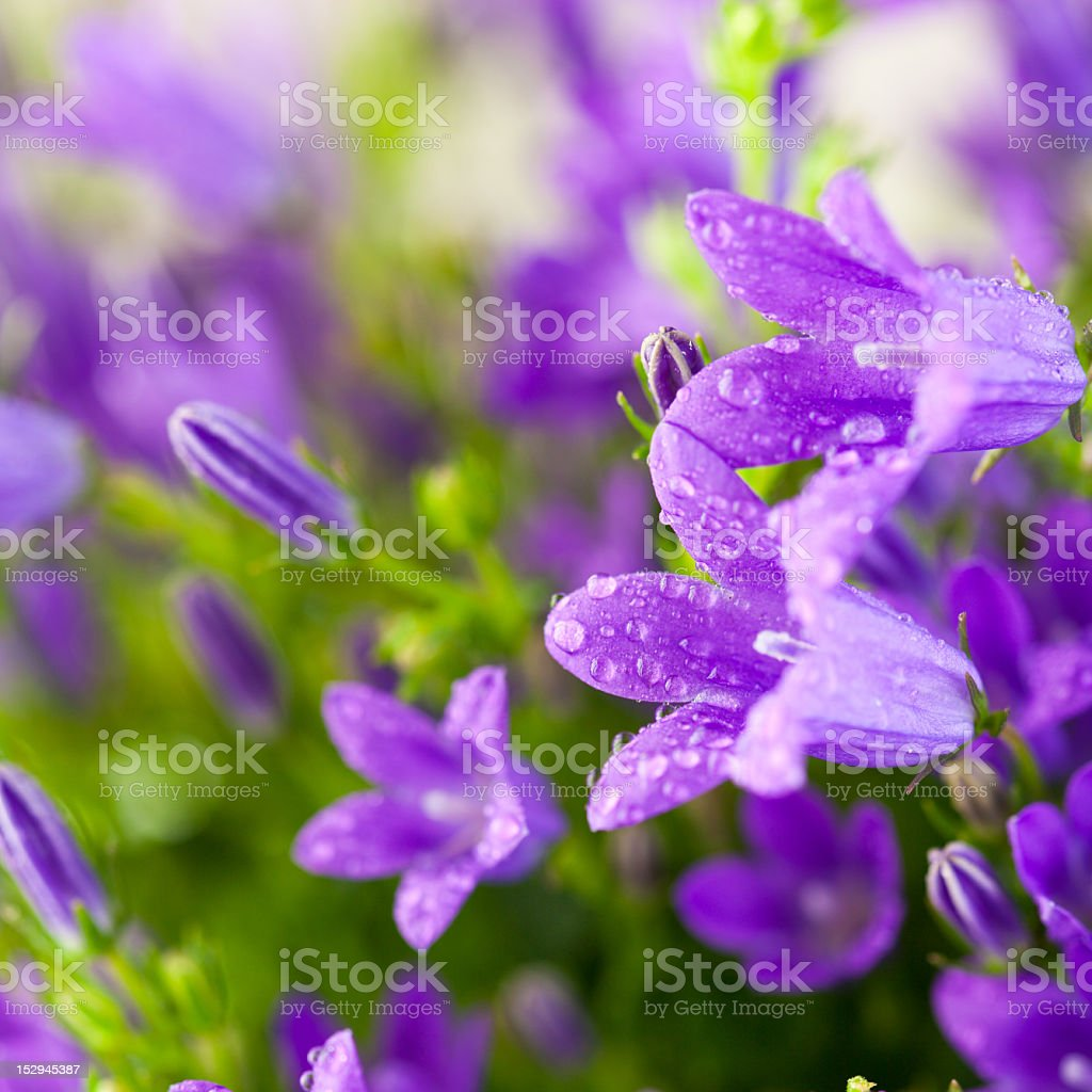 Beautiful spring bell flowers stock photo