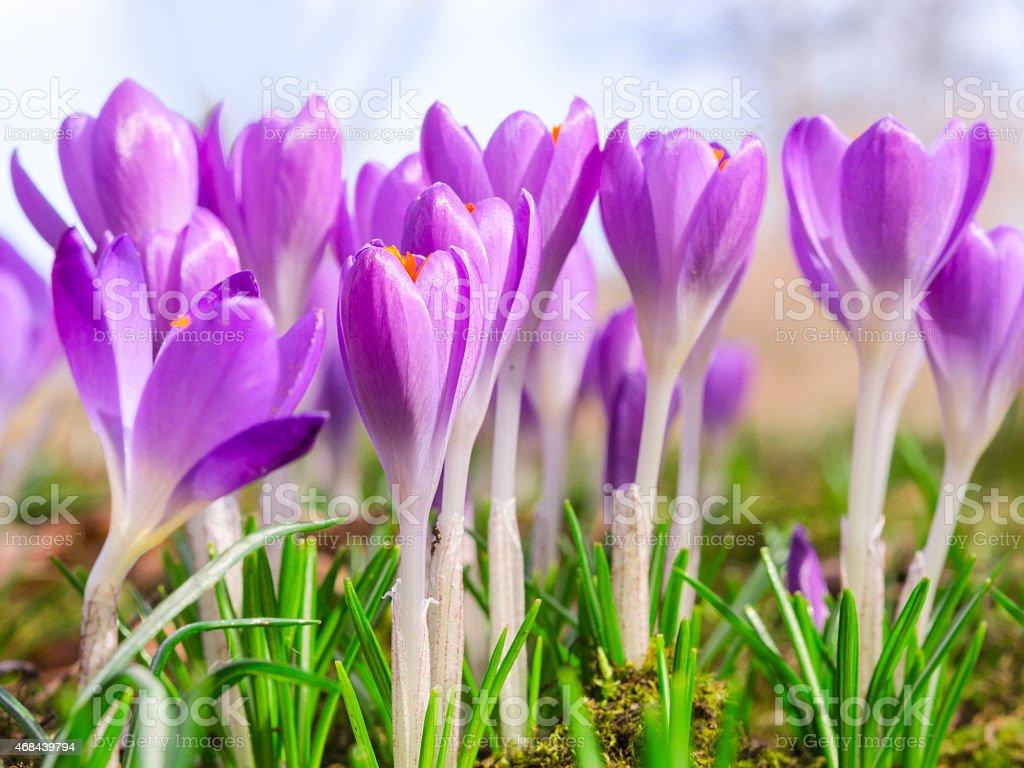 Beautiful spring blooming purple crocus flowers stock photo