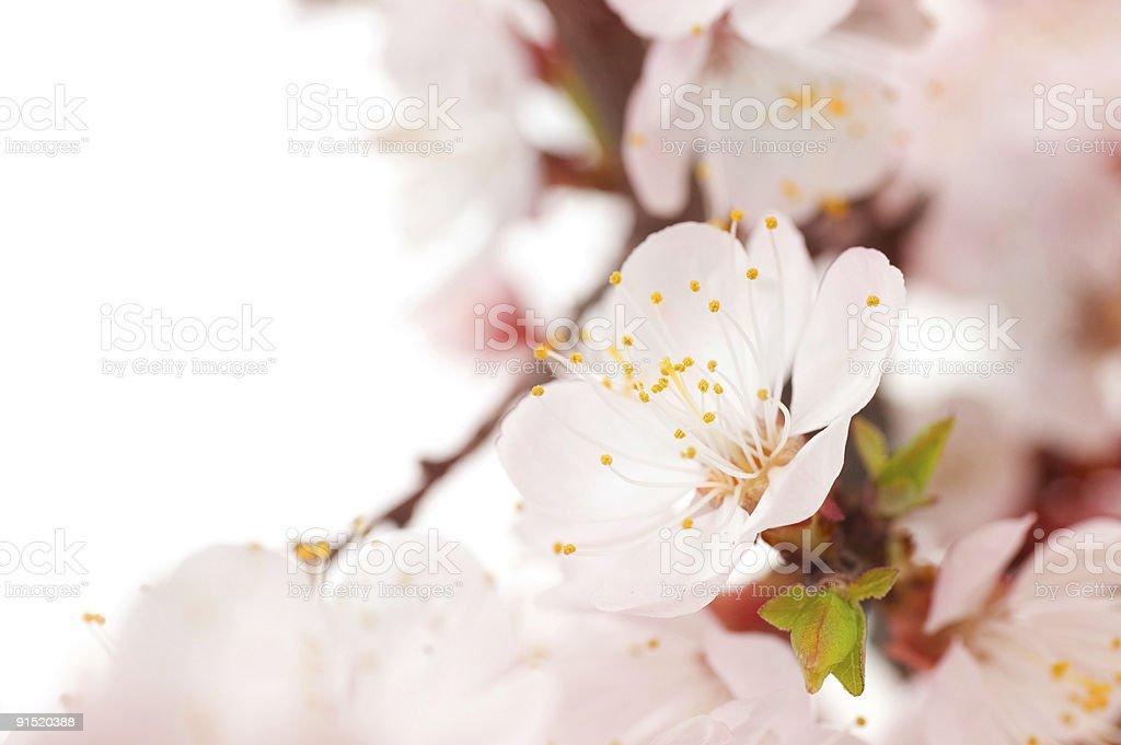Beautiful Spring Blossom royalty-free stock photo