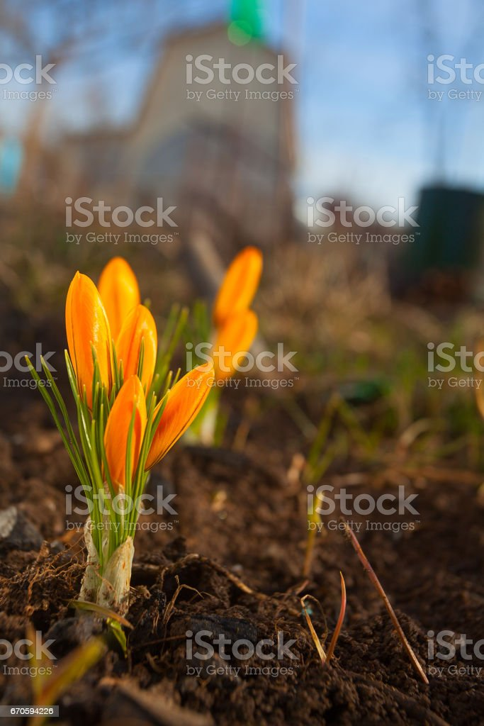 beautiful spring crocus flower on background image stock photo