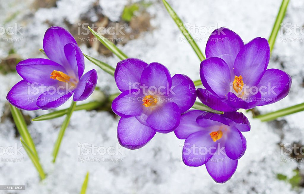 Beautiful spring crocuses stock photo
