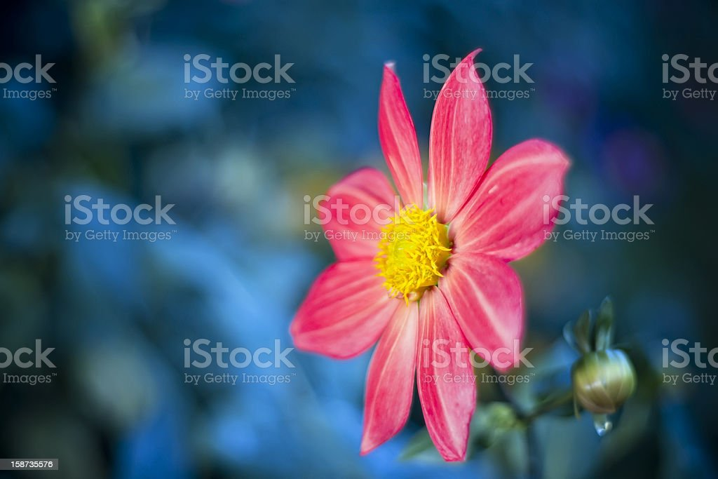 Beautiful spring flower. Soft selective focus royalty-free stock photo