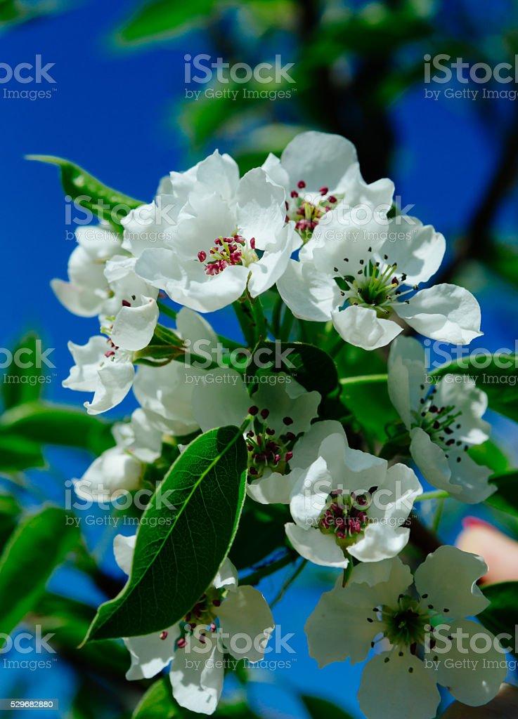 Beautiful spring flowering pear stock photo