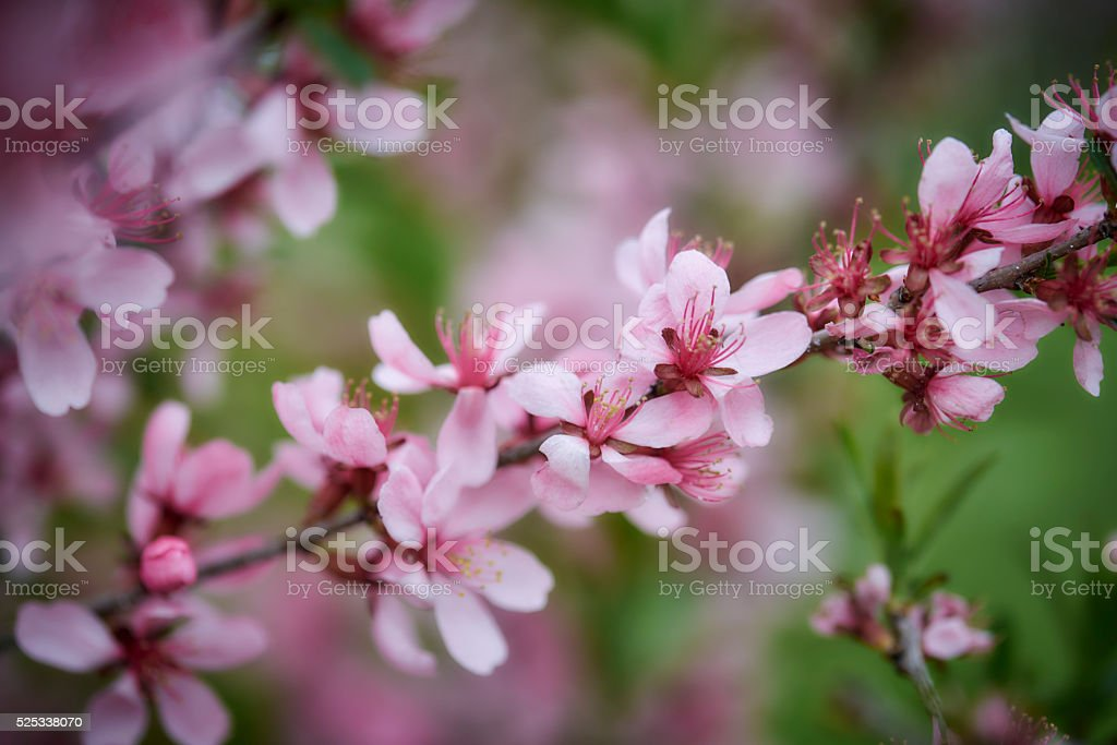 Beautiful spring flowers - Almond-tree Blossom stock photo