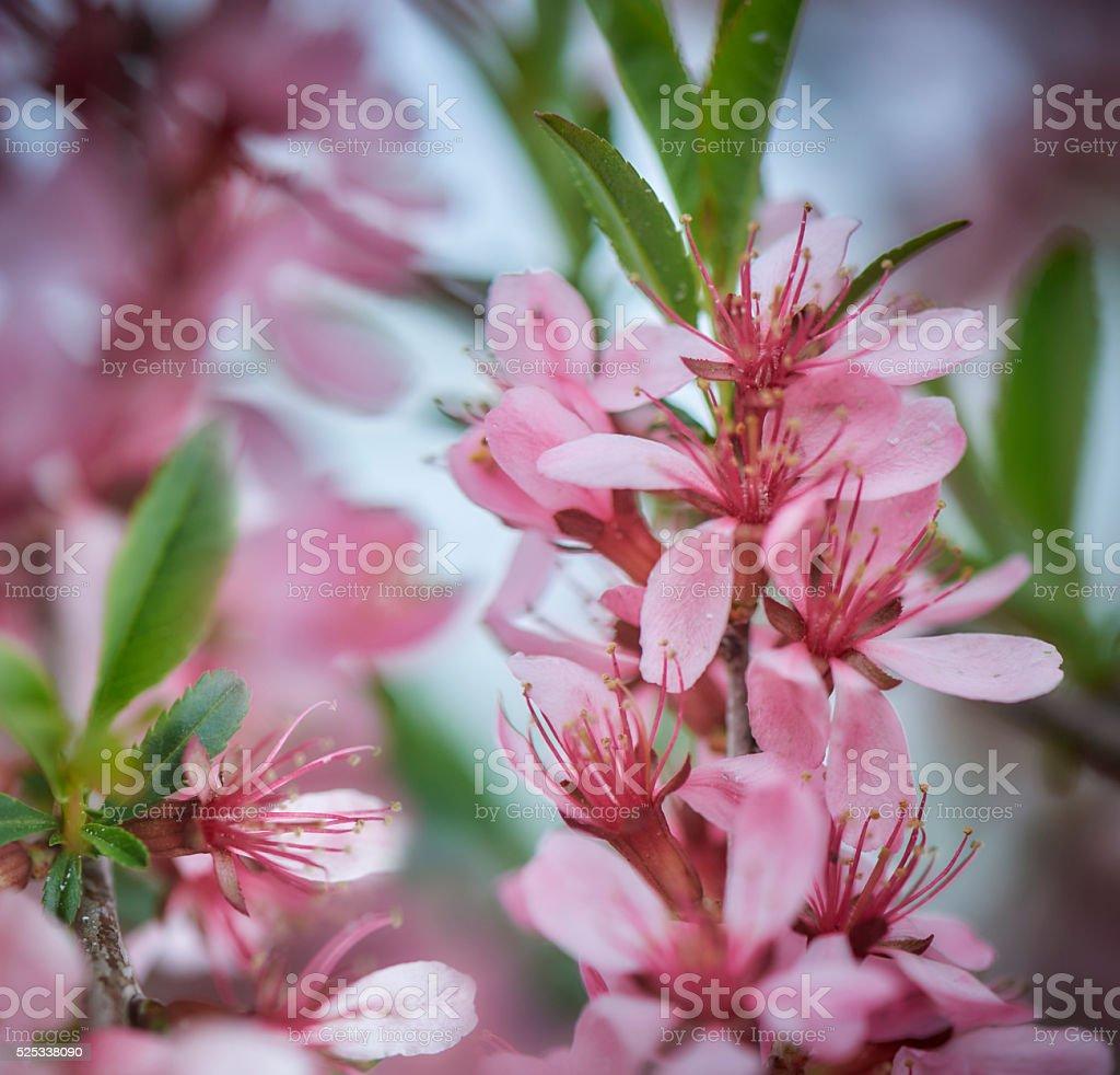 Beautiful spring flowers - Almond-tree Blossom stock photo