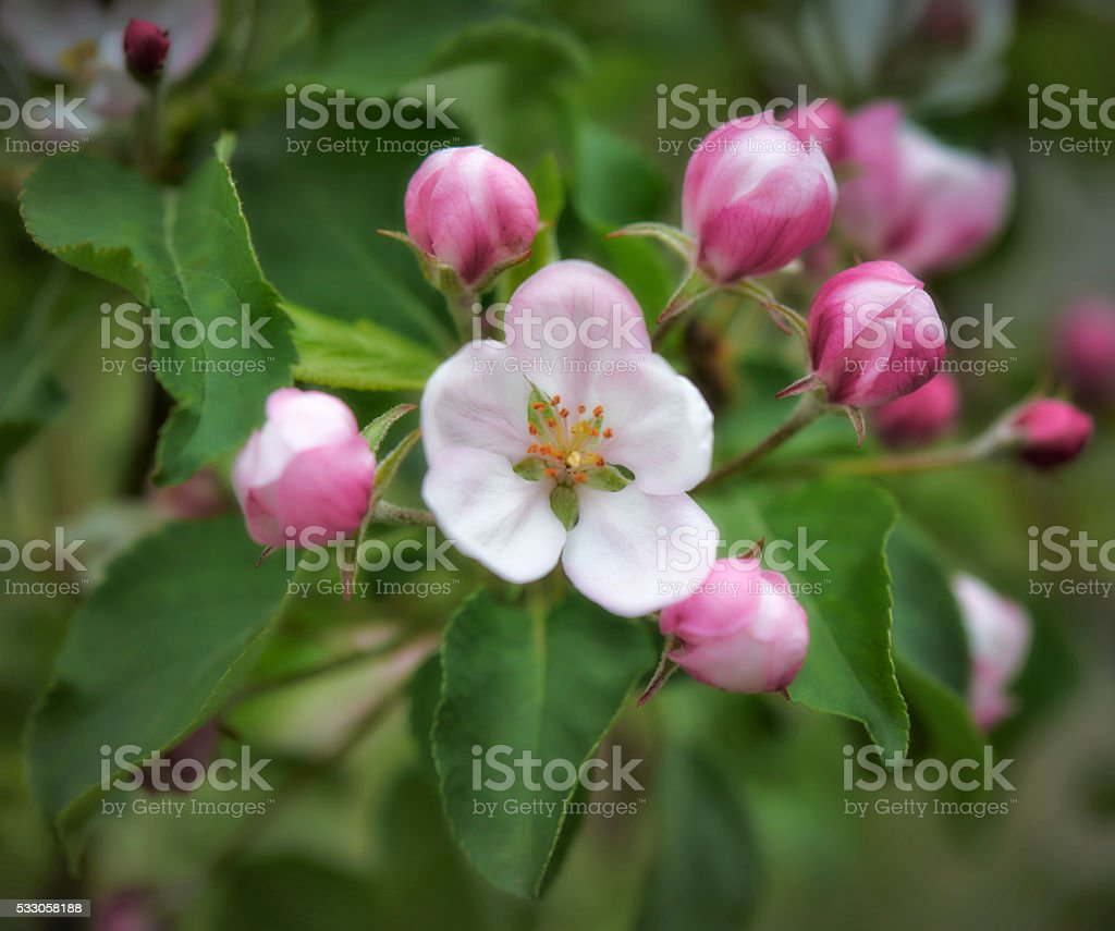 Beautiful spring flowers - Apple tree Blossom stock photo