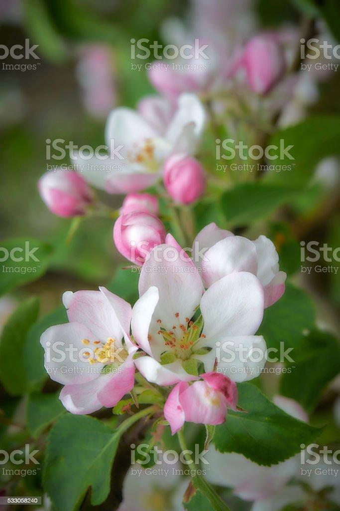 Beautiful spring flowers - Apple tree Blossom stock photo