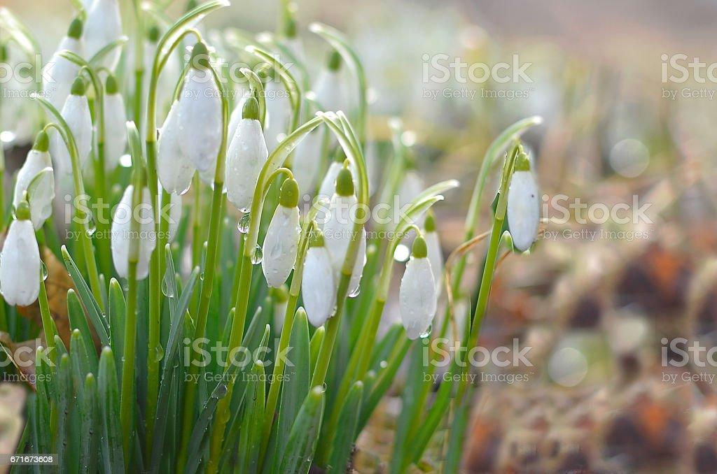 Beautiful spring flowers snowdrops, Galanthus nivalis stock photo