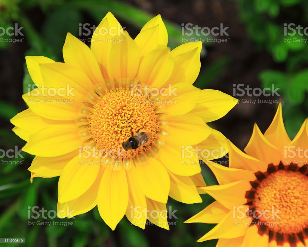 Beautiful Spring Flowers with bee royalty-free stock photo