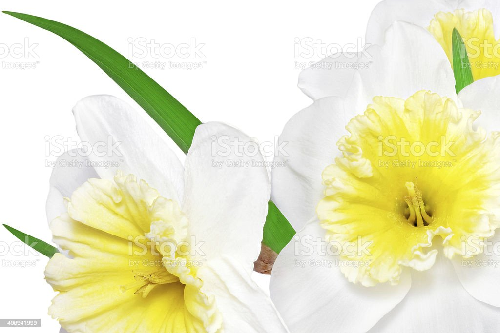 Beautiful spring flowers : yellow-white narcissus (Daffodil) royalty-free stock photo